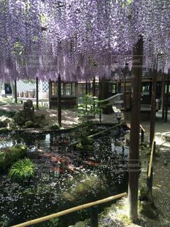 自然,花,池,藤,和,藤棚,博物館,北方文化博物館