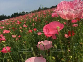 自然,花,花畑,ポピー