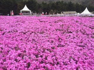 フィールドにピンクの花の写真・画像素材[1135543]
