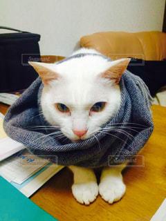 猫,冬,かわいい,マフラー,白猫,もふもふ,寒さ対策
