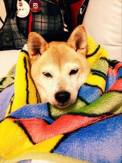 犬,布団,寒い,暖かい,柴犬,眠い,包まる,寒さ対策,毛むくじゃら