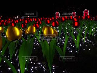 光るチューリップの写真・画像素材[922835]