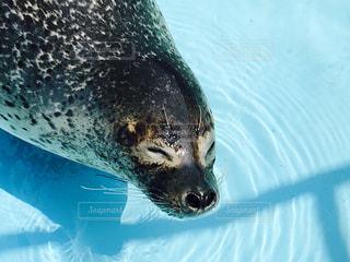 水のプールで泳ぐアザラシの写真・画像素材[993455]