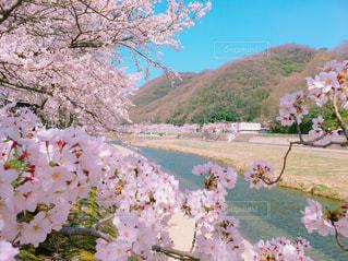 岡山県の桜の写真・画像素材[1108179]