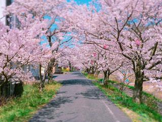 桜トンネルの写真・画像素材[1108191]