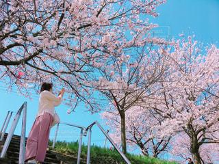 桜と桜色コーデのコラボの写真・画像素材[1118071]