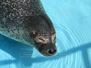 水のプールで泳ぐアザラシの写真・画像素材[1314046]