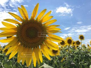 黄色の花の写真・画像素材[1314063]