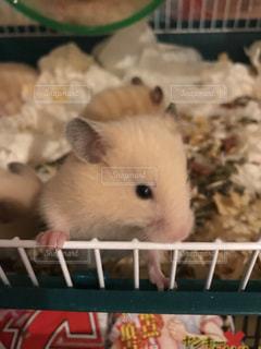 檻の中の小さな齧歯動物の写真・画像素材[989610]