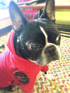 カメラを見て小型犬の写真・画像素材[977377]