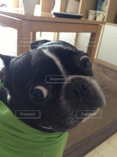 カメラを見て犬の写真・画像素材[977389]