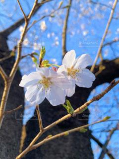 自然,公園,花,春,桜,木,青空,花見,お花見,イベント,代々木公園,おはなみ,さくら,春先