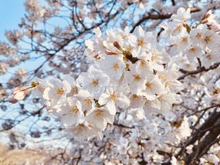 花,春,桜,木,花見,満開,お花見,イベント,桜満開