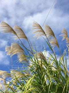 沖縄の空とススキの写真・画像素材[897374]