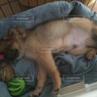 ベッドの上に横たわる犬の写真・画像素材[974379]