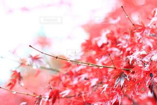 木の枝にピンク色の花のグループの写真・画像素材[881495]