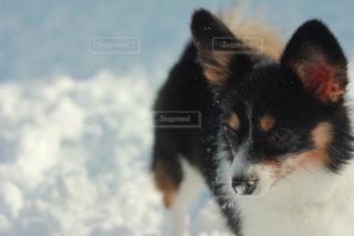 犬と雪の写真・画像素材[1746255]