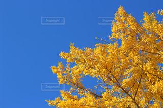 イチョウと青空の写真・画像素材[867721]