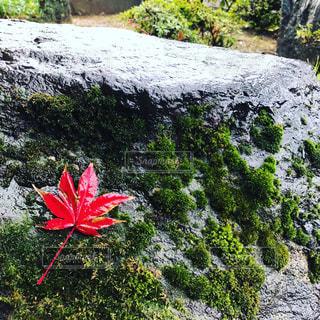 赤い花が岩の上に立っています。の写真・画像素材[877510]