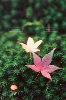 苔と紅葉の写真・画像素材[867812]