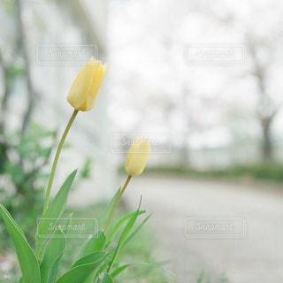 草の中の黄色い花の写真・画像素材[1412738]