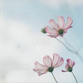 ピンクの花で満ちている白い花瓶の写真・画像素材[1412755]