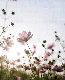 花,コスモス,日没,秋桜,万博公園