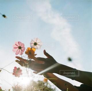 花,コスモス,手,秋桜,万博公園