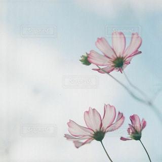 ピンクの花で満ちている白い花瓶の写真・画像素材[1455125]