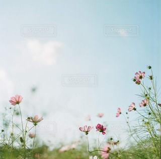 花,コスモス,秋桜,武庫川河川敷