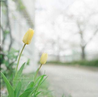花,春,黄色,チューリップ,イエロー,yellow