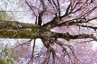主、ピンクに着飾るの写真・画像素材[878523]