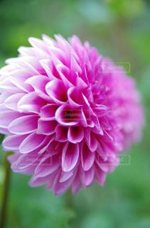紫花の写真・画像素材[1374230]