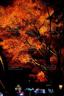 紅葉,景色,鮮やか,樹木,たくさん,明るい,立川,スポットライト,草木,フォトジェニック,カメラ男子
