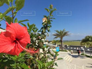 風景,空,花,屋外,南国,赤,青空,ハイビスカス,沖縄,樹木,旅行,ヤシの木