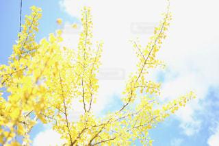 銀杏の木の写真・画像素材[869802]