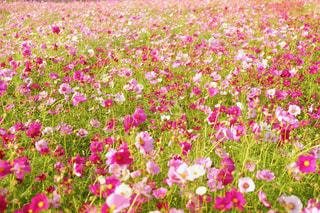 コスモス畑の写真・画像素材[876424]
