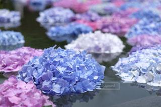 自然,花,紫,紫陽花,梅雨,コピースペース,X-T1