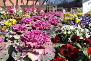 花,春,ピンク,カラフル,可愛い,パステルカラー,おしゃれ,葉牡丹,ファンシー,ハボタン