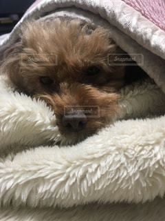 近くにベッドの上で寝ている犬のアップの写真・画像素材[871861]