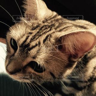 我が家の愛猫ラムの写真・画像素材[870982]