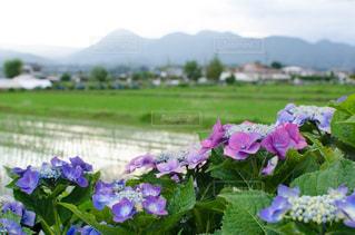 田園風景とあじさいの写真・画像素材[1250627]