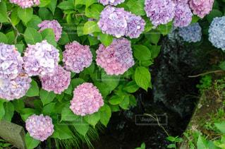 水と紫陽花の写真・画像素材[1250679]