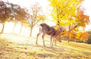 早朝の奈良公園の写真・画像素材[869489]