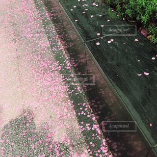 桜,ピンク,横浜,flower,pink