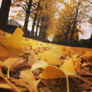銀杏並木と葉っぱたちの写真・画像素材[870777]