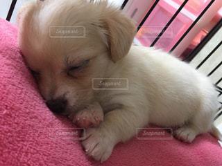 赤い毛布の上で寝ている茶色と白犬の写真・画像素材[872383]