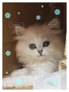 ペルシャ猫の写真・画像素材[879234]