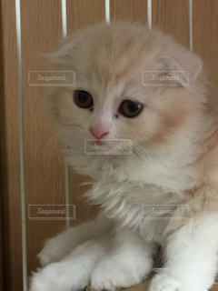 美人猫の写真・画像素材[879261]