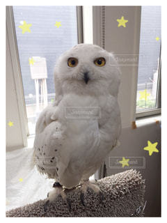 白いフクロウの写真・画像素材[911427]